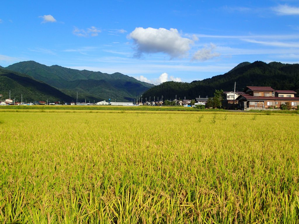Ricefield in Autumn